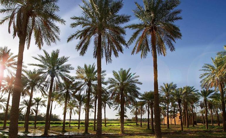 المملكة الثانية عالمياً في إنتاج التمور بـ 1.5 مليون طن